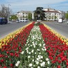 В Севастополе весной расцветут 320 тысяч тюльпанов