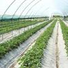 В этом году в Крыму ждут рекордный урожай клубники