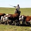 Калмыкия накормит крымчан мясом
