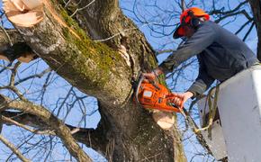 В центре Севастополя спилят 200 деревьев