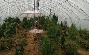 Крымчанин вырастил 60 килограммов марихуаны