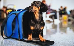 В самолете, летевшем из Крыма, по салону разгуливала собака