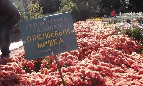 В Никитском саду прошел Бал хризантем