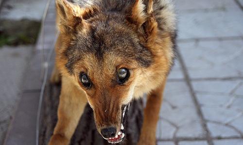 Крым борется с бешенством у хищных животных