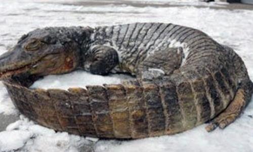 Крокодил в «Тайгане» не вынес веерных отключений