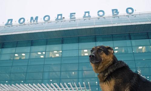 Собака так не хотела в Крым, что 4 дня умудряется скрываться в Шереметьево