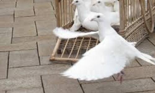 На границе развернули обратно живых голубей