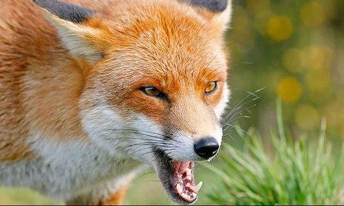 Зубков рассказал, что льва в саванне поцарапали … лисы
