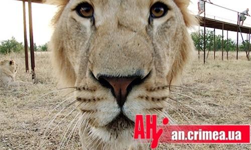 Львам и тиграм в «Тайгане» остается только жевать траву