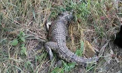 Не опять, а снова: в Симферополе нашли очередного крокодила