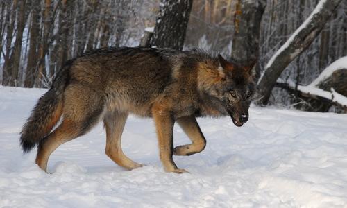 Крымских волков планируют отстреливать сотнями